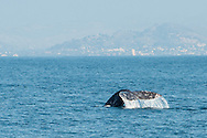 Gray whale heading north to Alaska off the Southern California coast