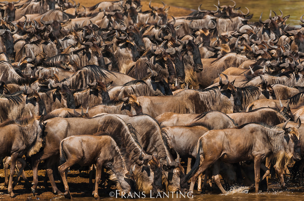 Wildebeest migration, Connochaetes taurinus, Masai Mara National Reserve, Kenya