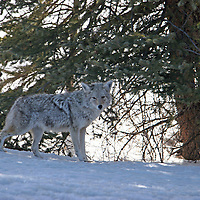 Coyote<br /> Wyoming