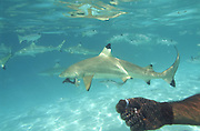 Shark feeding, Bora Bora, French Polynesia<br />