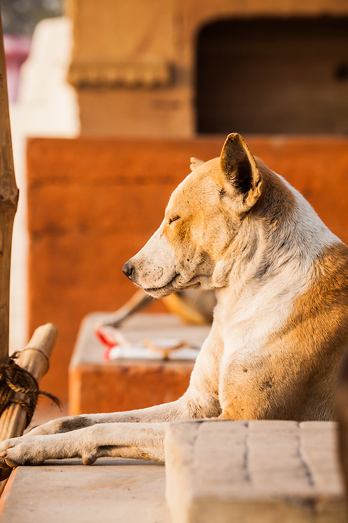 A dog enjoying the sun, Varanasi, India.