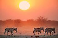 Zebras at sunset, Equus quagga, Etosha National Park, Namibia
