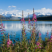 Fireweed blooms pink magenta at Summit Lake (3210 feet elevation) beneath the snowy Alaska Range, along the Richardson Highway near Paxson, in Alaska, USA.
