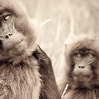 Female gelada baboons stare into the camera on the Guassa Plateau of Ethiopia