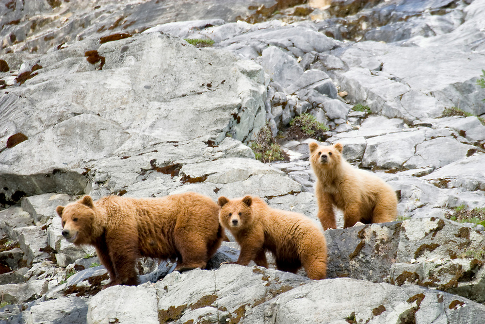 A brown bear and her two cubs look down from a rocky cliff.