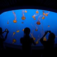 sea nettle ( chrysaora fuscensens ) jellyfish&amp;#xA;Monterey Bay Aquarium California United States&amp;#xA;&copy; KIKE CALVO - V&amp;W&amp;#xA;( zoo captivity underwater etereal floating clear translucid orange&amp;#xA;danger translucid space, clear, transparent, alien, freedom, floating, flying, danger, fear, etereal, stars, light, ufo, extra, terrestrial underwater crystal medusa, medusae, pelagic, tentacle, dangerous, venomous, poisonous, stinging, painful, stingers, blue, marine, life, sea, ocean, aquatic, wildlife, invertebrate jelly<br />