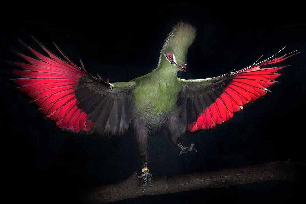 Guinea Turaco, (Tauraco persa); captive, credit: Pandemonium Aviaries/M.D.Kern