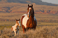 Early in September, Ruger, a wild bay tobiano mare, and her tiny foal, greet the new day at the McCullough Peaks Herd Management Area outside of Cody, Wyoming.