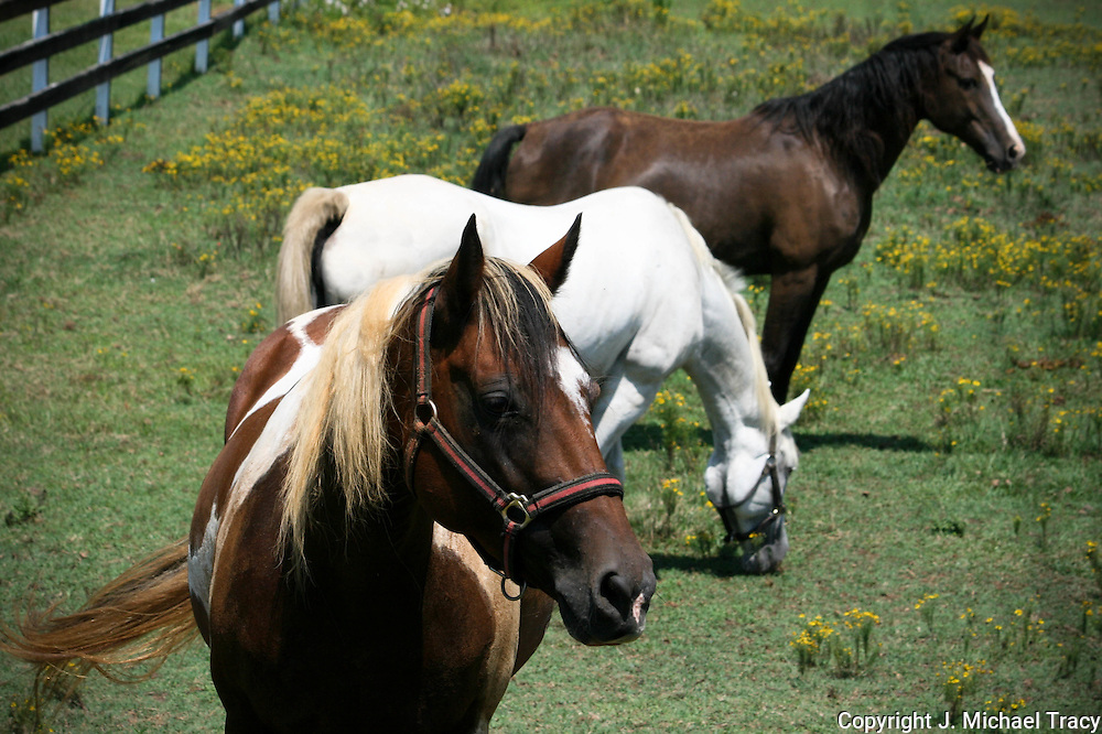 Three rescue Horses grazing in a field near Stone Mountain Georgia.