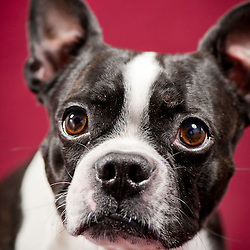 Norman - Boston Terrier