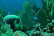 Blue Chromis, Chromis cyanea,<br /> (Poey, 1860), Grand Cayman