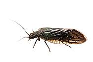 Alderfly (Sialis sp.)<br /> TEXAS: Jasper Co.<br /> Brookeland/Lake Sam Rayburn @ 505 Co Rd 212<br /> 15-21.March.2015<br /> J.C. Abbott #2702 &amp; K.K. Abbott