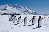 King Penguins (Aptenodytes patagonicus) walking in a line, Fortuna Bay, South Georgia Island