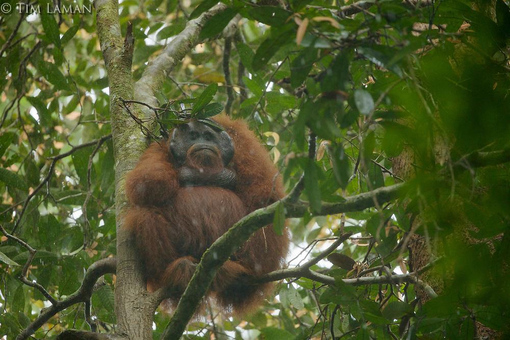 Bornean Orangutan - &quot;wurmbii&quot; subspecies<br />(Pongo pygmaeus wurmbii)<br /><br />Adult male &quot;Codet&quot; sitting out heavy rain with leaf &quot;umbrella&quot;<br /><br />Cabang Panti Research Station<br />Gunung Palung National Park<br />West Kalimantan, Indonesia<br />Borneo Island