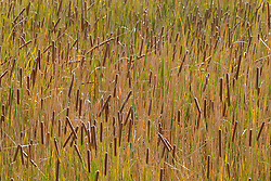 cattails and grasses in New Mexico