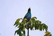 Kenya, Aberdare National Park, Kenya, Greater Blue-eared Starling Lamprotornis chalybaeus,