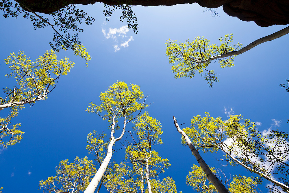 Grove of quaking aspen (Populus tremuloides) against a blue sky, Lost Creek Wilderness, Colorado.