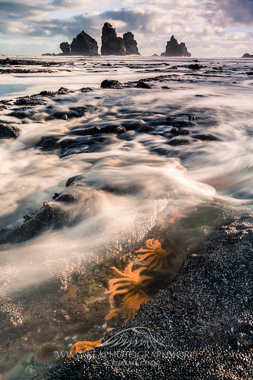 Reef starfish bunker down in the trench, as the incoming tide washes over them, along the West Coast of New Zealand's South Island.