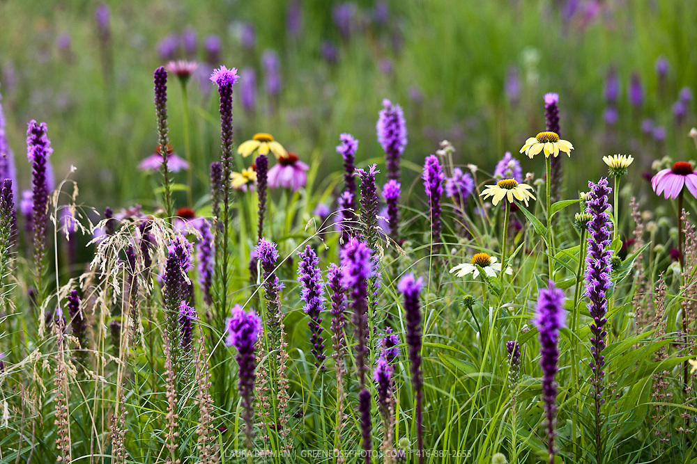Ornamental flowerbed planted with native perennials such as liatris and echinacea and ornamental grasses.