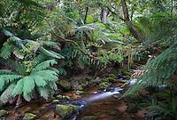 Rainforest Stream flowing through lush temperate rainforest in St Columba Falls State Reserve, Tasmania, Australia