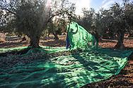 Olive Collection ,Mazarambroz, Toledo, Spain.