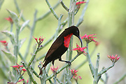 Africa, Tanzania, Lake Manyara National Park, Close-up of Scarlet-chested Sunbird (Nectarinia senegalensis) feeding on nectar