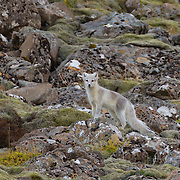 An arctic fox (Vulpes lagopus) that has transitioned mostly to its white winter coat looks for food on the hillside above Fossárvik in southeastern Iceland. Arctic foxes, found throughout the Arctic tundra, are small with a body length of less than 3 feet (85 cm). To survive in such a harsh environment, they have very deep fur and a rounded body shape, which minimizes the portion of their body that is exposed to the elements.