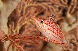 Longnose hawkfish (Oxycirrhites typus) in sea fan, Raja Ampat, West Papua, Indonesia, Pacific Ocean  [size of single organism: 6 cm]   Langschnauzen-Korallenwächter oder Langschnauzen-Büschelbarsch (Oxycirrhites typus)