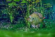 Bluegill (Florida Bluegill)<br /> <br /> Isaac Szabo/Engbretson Underwater Photography