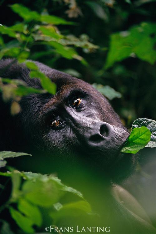 Eastern lowland gorilla, Gorilla gorilla graueri, Kahuzi Biega National Park, Congo (DRC)