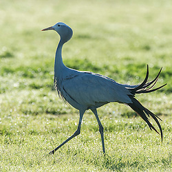 Blue Crane ruffling tail feathers, Overberg, Western Cape, South Africa