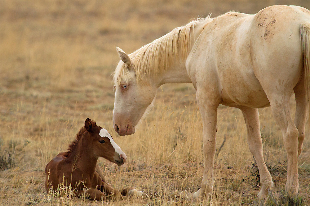A yearling filly, named April Fools, investigates a brand new member of her band. April Fools is easily recognizable among the mustangs at McCullough Peaks, with her piercing blue eyes and cremello coloring.