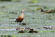 The lesser whistling duck (Dendrocygna javanica) is also known as Indian whistling duck and breeds across the Indian subcontinent and Southeast Asia. It has a wide distribution range and is believed to have a secure global population of between two and twenty million individuals.   It is not considered a threatened species.