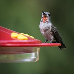 A juvenil male Anna's hummingbird perched at a backyard feeder.