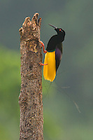An adult male Twelve-wired Bird of Paradise on his display pole in the swamp forest along the Karawari River..