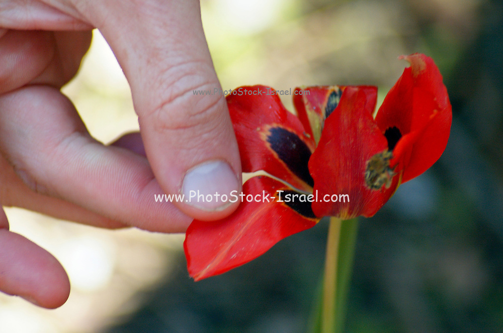 Inspecting Sharon tulip in Nature, Tulipa sharonensis Dinsm