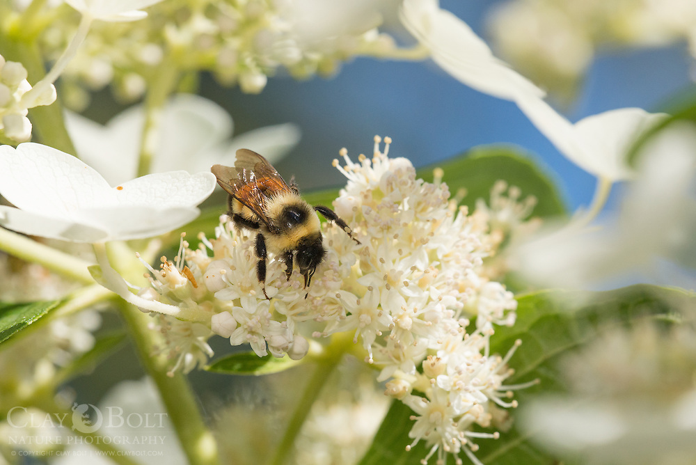Rusty Patched Bumble Bee (Bombus affinis), female, worker, Madison, Wisconsin