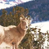 Female Ram<br /> Wyoming Mountains<br /> Wyoming