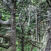 Twisty branches radiate from tree trunks in a dark green coastal forest. Bluff Trail, Ebey's Landing National Historical Reserve, Whidbey Island, Washington, USA.