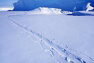 Emporer penguin tracks, Antarctica
