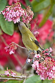 Bellbird Pictures - Photos