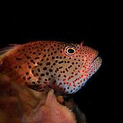 Forster's Hawkfish, Paracirrhites forsteri, at Maratua Island, Kalimantan, Indonesia.