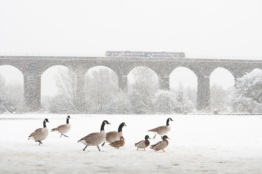 Canada Goose (Branta canadensis) with Northern Rail train on viaduct, Reddish Vale Country Park, Greater Manchester, UK