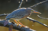 An immature green heron hunts for small fish in a dense mangrove forest. This reclusive bird is mainly nocturnal and is seldom seen during daylight hours except at dusk and dawn.