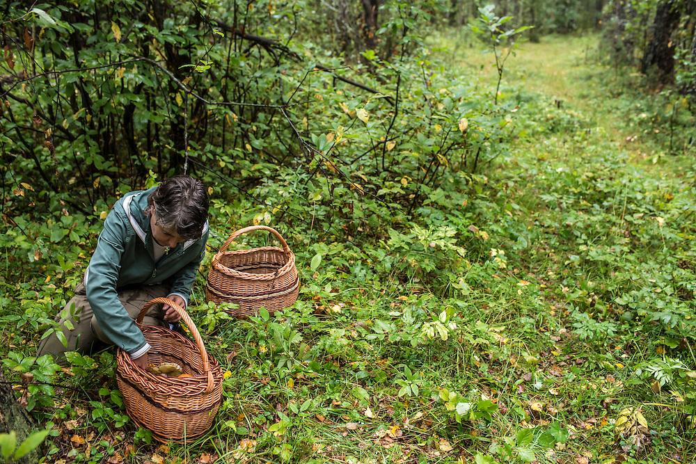 Julia Schelkunova picks wild mushrooms on Saturday, August 24, 2013 in Suzdal, Russia.