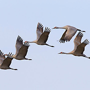 Several sandhill cranes (Grus canadensis) fly in formation over the Columbia National Wildlife Refuge near Othello, Washington. Tens of thousands of cranes spend part of the spring near Othello, feeding during their migration to their summer breeding grounds. Cranes fly thousands of miles per year and can glide up to 500 miles (800 km) in nine or ten hours.