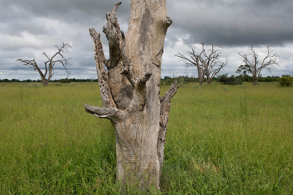 Africa, Botswana, Chobe National Park,  Bleached dead acacia tree surrounded by green grass growing in Savuti Marsh during rainy season