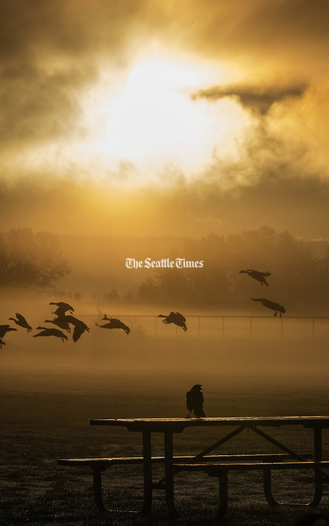 Watching the cross-town traffic at Magnuson Park, a crow comments in the warm glow of the sunrise. (Steve Ringman / The Seattle Times)