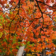 """The Bloedel Reserve was near its peak of fall colors on October 19, 2005. The Bloedel Reserve is a 150-acre forest garden on Bainbridge Island, Washington, made by the vice-chairman of a lumber company, under the influence of the conservation movement and oriental philosophy. The Bloedel Reserve has both natural and highly-landscaped lakes, immaculate lawns, woods, a traditional Japanese garden, a rock and sand Zen garden, a moss garden, a rhododendron glade, and a Reflection Garden. The Bloedel's French Chateau-style home is preserved as a Visitor Center, including many original furnishings. Reservations are required. Published in """"Light Travel: Photography on the Go"""" by Tom Dempsey 2009, 2010."""