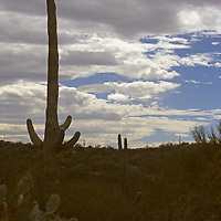 USA, Arizona, Tucson. Saguaro National Park (East). Mature Saguaro Cactus